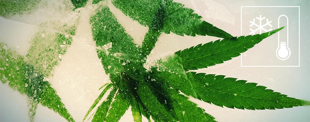 Cannabissamen Kälteren Klimazonen