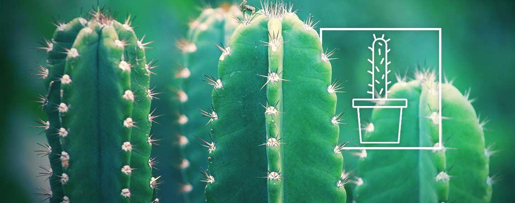 San Pedro (Echinopsis pachanoi) 20 Samen