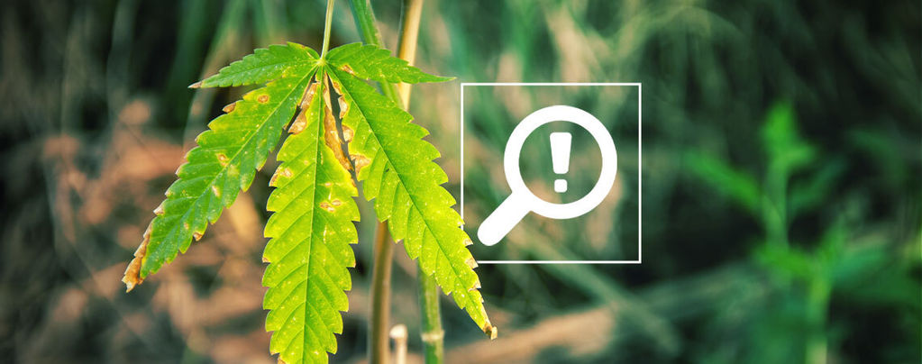 Probleme Cannabisblüte