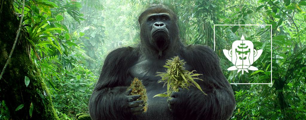 Gorilla Glue Cannabissorten