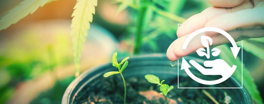 Phasen Des Cannabisanbaus