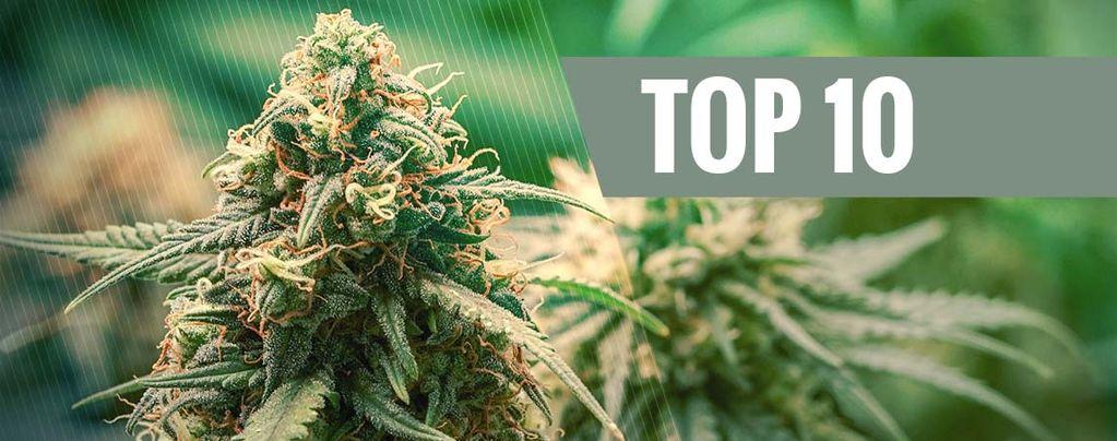Besten Cannabis-Hybridsorten