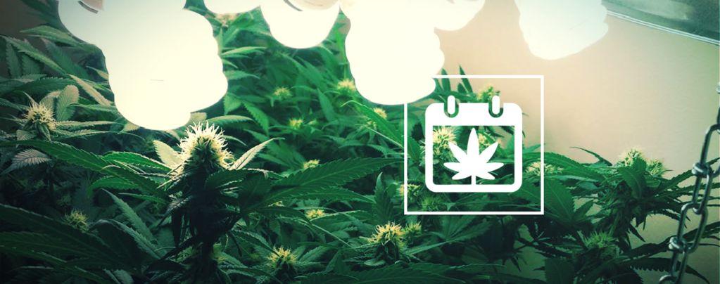 Mehrere Cannabis-Ernten