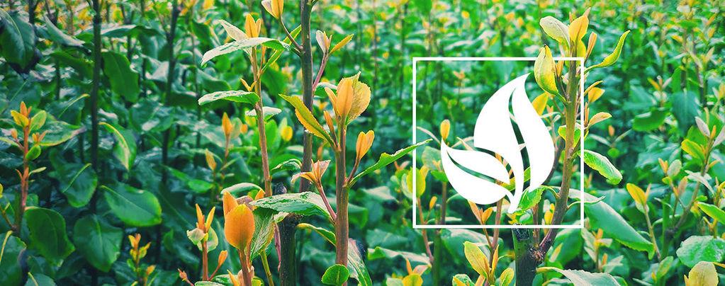 Kathstrauch (Catha edulis) 10 Samen