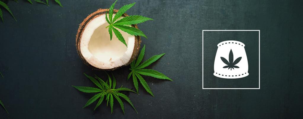 Kokosnusswasser Als Biologischen Cannabisdünger Verwenden