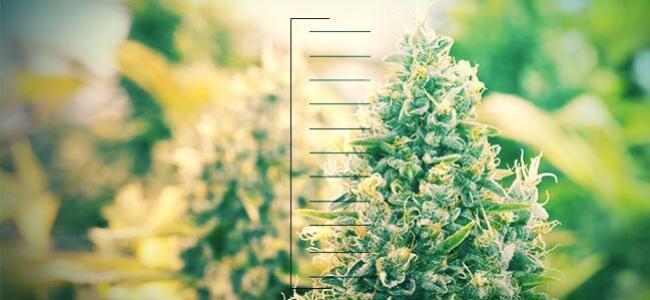 Top 10 Der Kompakten Cannabispflanzen