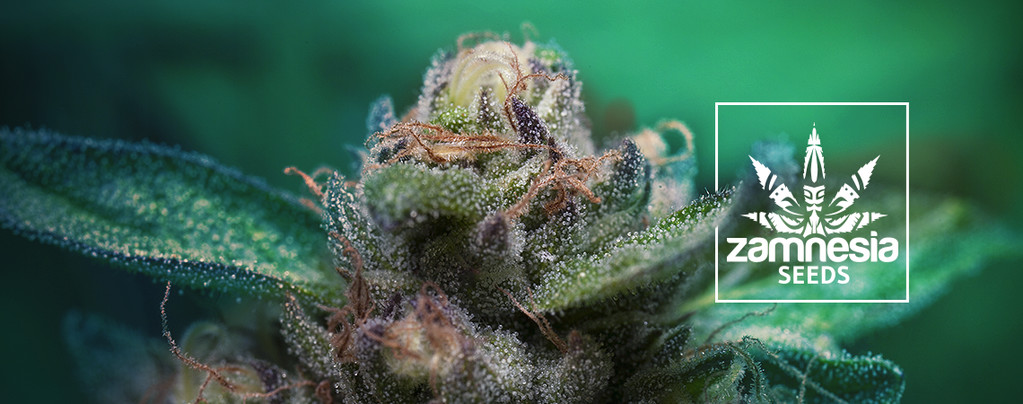 Auto Purple CousKush (Zamnesia Seeds) feminisiert