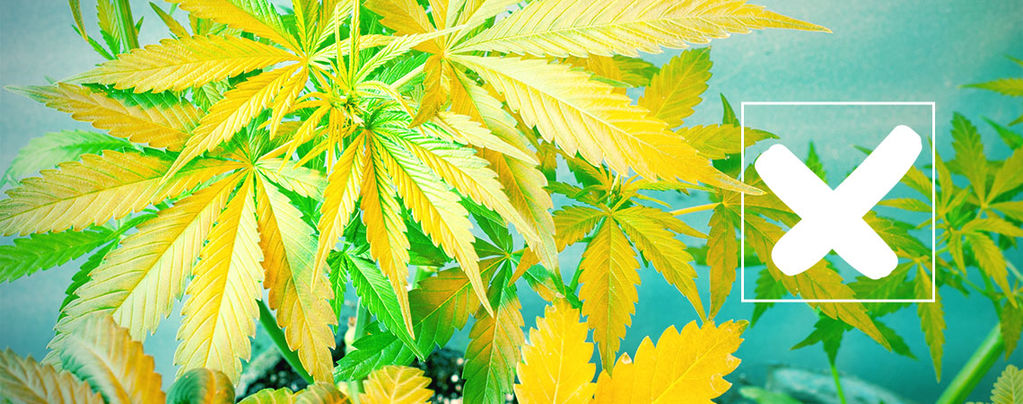 Gelbe Cannabisblätter