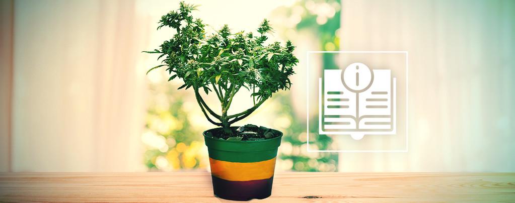 Alles, Was Du Über Bonsai-Cannabispflanzen Wissen Musst