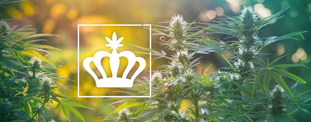 Althergebrachte Cannabis