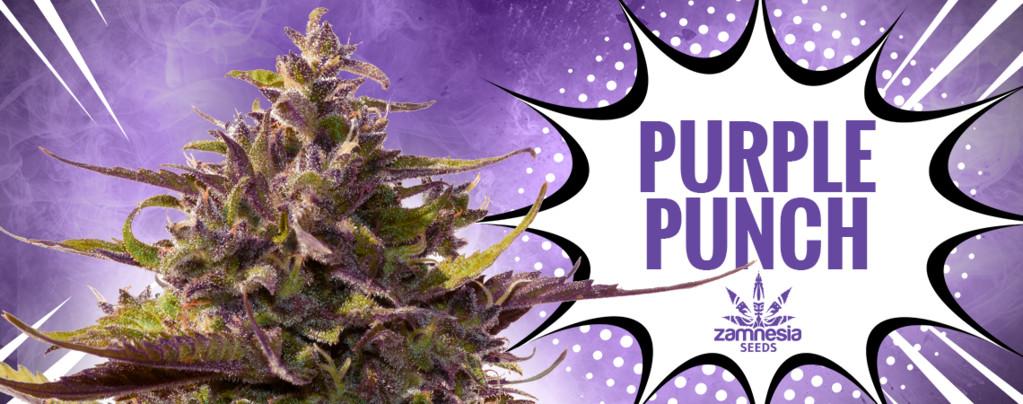 Purple Punch (Zamnesia Seeds) feminisiert