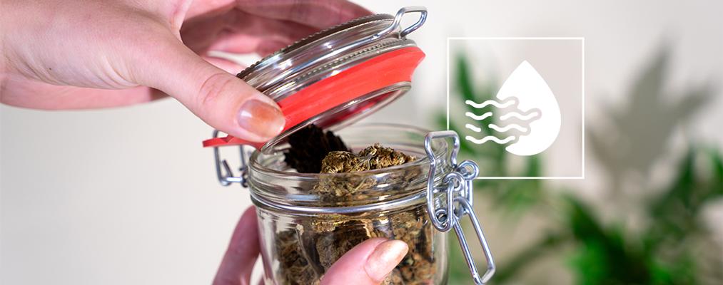 Wie Man Cannabis Knospen Korrekt Trocknet Und Aushärtet
