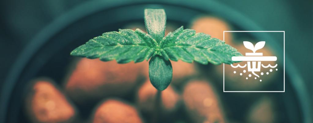 5 Cannabissorten, Die Perfekt Für Eine Tiefwasser-Kultur Geeignet Sind