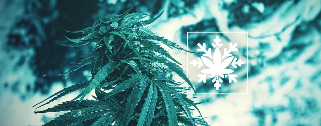 Wie Man Cannabis Im Winter Anbaut