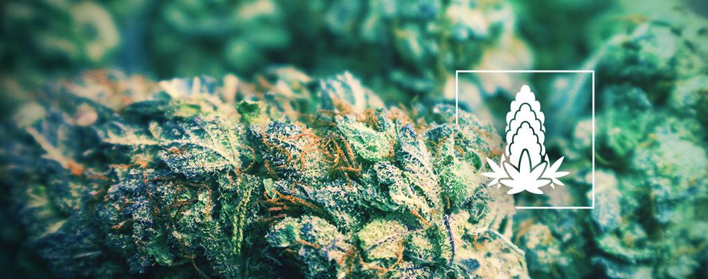 Verbesserung Der Dichte Von Cannabisblüten