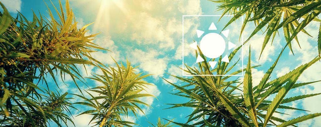 Sonnenlicht Cannabispflanzen