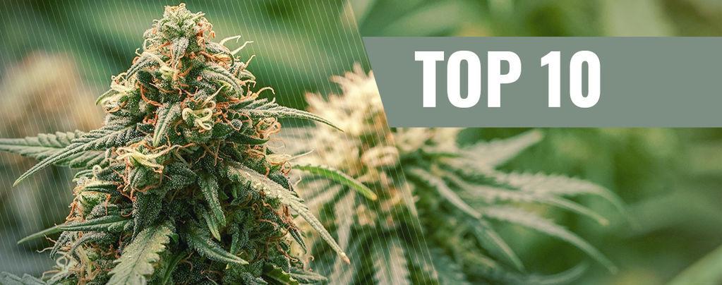 Haze-Cannabissorten