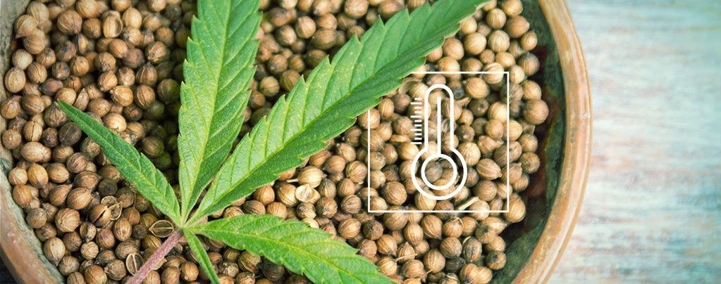 Cannabis Samen Für Den Anbau Im Freien