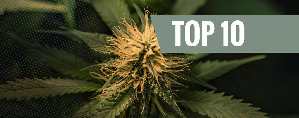 Top 10 Cheese-Cannabissorten
