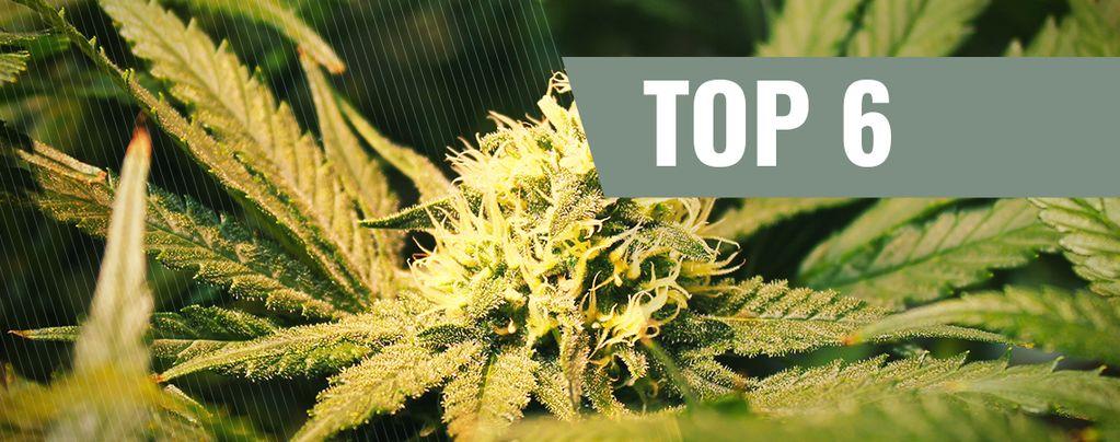 THCV-Cannabissorten