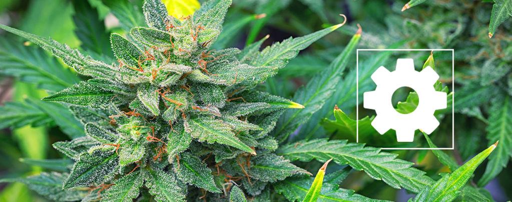 Sind Autoflowering Cannabissorten Weniger Stark Als Andere?