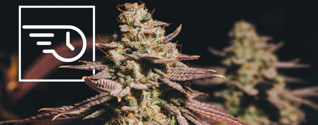 Was Ist Schnell Blühendes Cannabis?