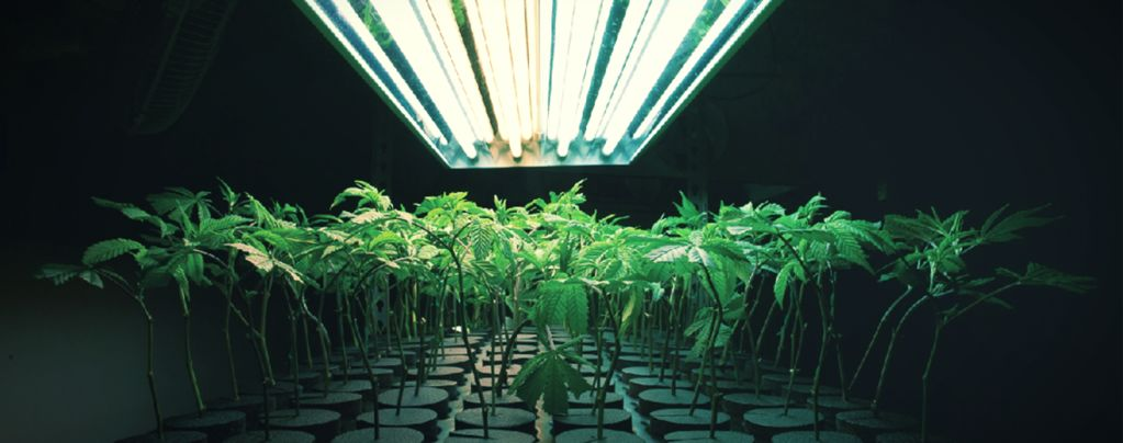 Was Ist Ein Inertes Anbaumedium Beim Anbau Von Cannabis?