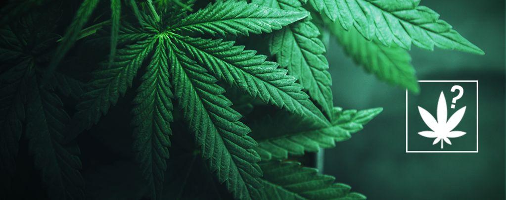 Was Ist Cannabis?