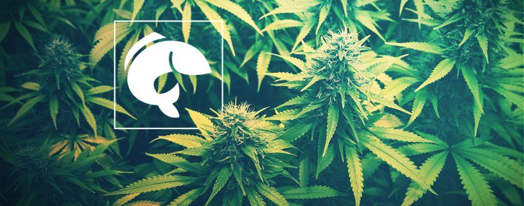 Eine Anleitung Zur Nutzung Von Aquaponik Für Den Cannabisanbau