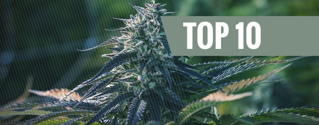 Die 10 Exklusivsten Cannabissorten