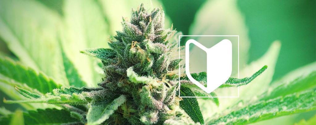 Was Benötigt Man, Um Einen Cannabisanbau Zu Starten?