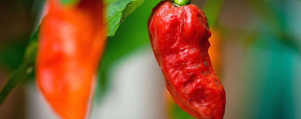 Bhut Jolokia (Ghost Pepper): Wie Man Sie Anbaut Und Nutzt
