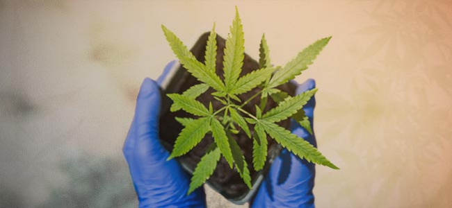 In 10 Schritten Erklärt: Wie Du Deine Erste Cannabispflanze Anbaust