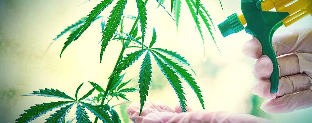 Wie Und Wann Man Eine Blattdüngung Bei Cannabispflanzen Anwendet