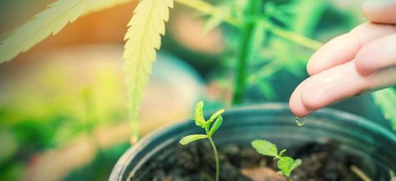 Welches Ist Das Beste Wasser Für Cannabispflanzen?