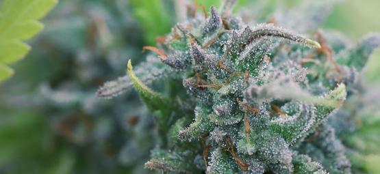 Wie Man Zu Hause Biologisches Cannabis Anbaut