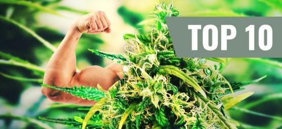 Die Top 10 Der Stärksten Und Wirksamsten Cannabis Sorten