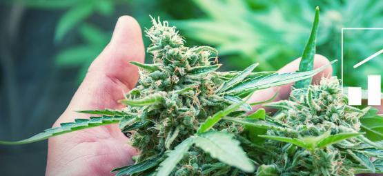 5 Methoden, Um Den Cannabis-Ertrag Zu Steigern