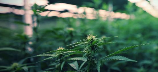 Mit LED Beleuchtung Die Cannabisernte Maximieren