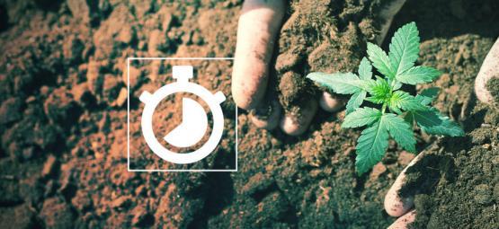 Wie Lange Dauert Das Anbauen Von Cannabis?