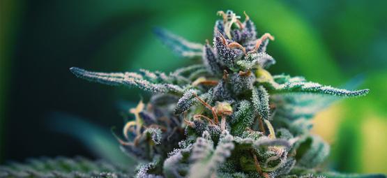 Die besten CBD- und THC- Cannabissorten für die Schmerzlinderung