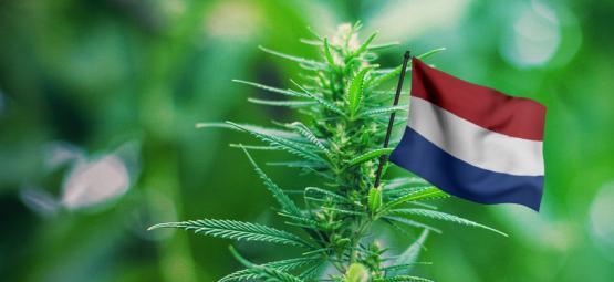 Die Besten Outdoor-Cannabissorten Für Den Anbau In Den Niederlanden