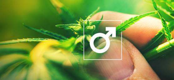 Was Fängt Man Mit Männlichen Cannabispflanzen An?