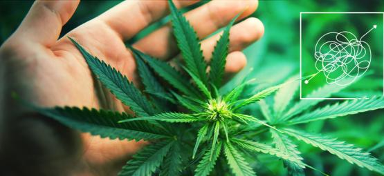 Sehr Lohnende Cannabissorten, Die Schwer Anzubauen Sind