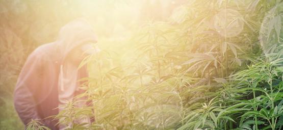 Die Besten Cannabissorten Für Den Guerilla-Anbau