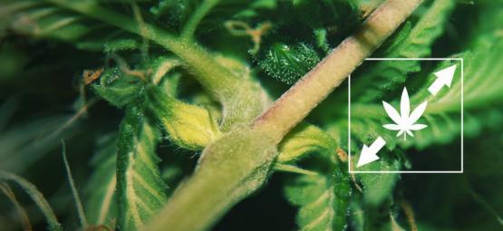 Wie Man Den Stretch Von Cannabispflanzen Verhindert