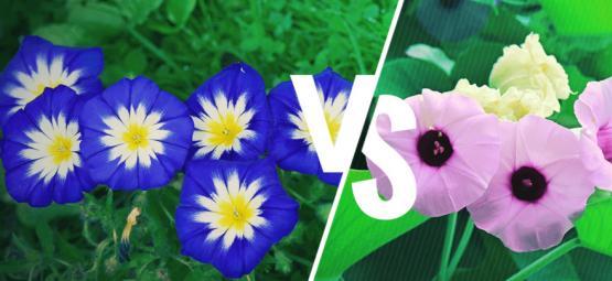 Prunkwinde Vs. Hawaiianische Holzrose: Was Ist Der Unterschied?