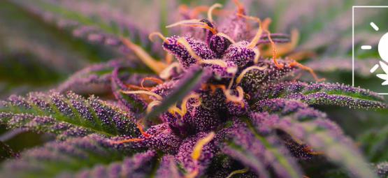 Wie Du Farbenprächtige, Lila Cannabisblüten Züchtest
