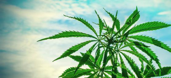 Die besten Cannabissamen Für Eine Warme Klimazone