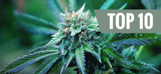 De Top 10 Medicinale Cannabis Variëteiten